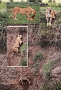 Lion-cub-saved-mum-dramatic-scenes-caught-camera-cries-pitifully-help